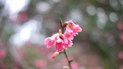 【大埔好去處】香港賞櫻花熱點!嘉道理農場鐘花櫻桃綻放