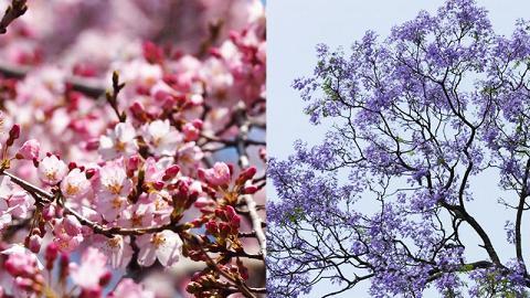唔使飛去日韓!香港全年賞花時間地點一覽 櫻花/美人樹/藍花楹/繡球花