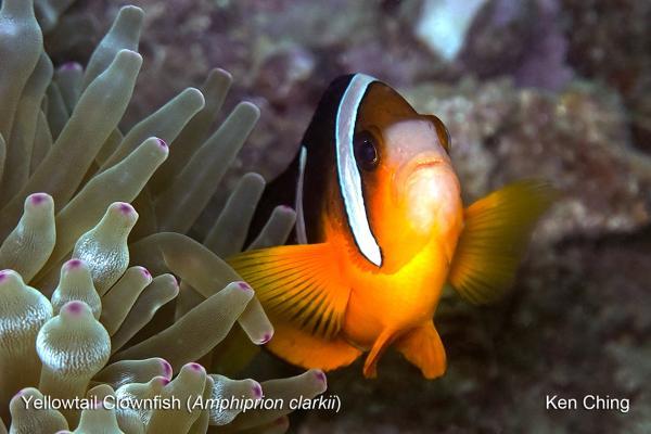 西貢橋咀浮潛 近距離欣賞珊瑚、小丑魚