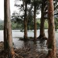 【香港郊遊系列】近在咫尺的城門水塘-白千層樹徑,白千層林