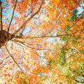 楓香林踏入盛放期!一年一度賞紅葉季節又到