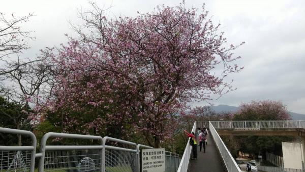 錦田石崗軍營 羊蹄甲花(U Blogger-蝴蝶結姐姐)
