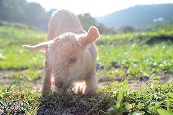 園內可飼養羊仔及免仔  (圖片來源:FB@清新地有機休閒農莊)