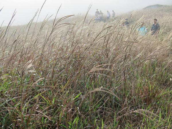 大東山 - 芒草盛開的季節又來了