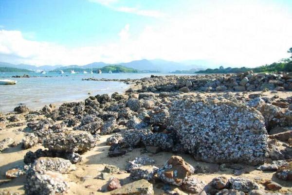沙灘上的石頭滿佈蠔殼。