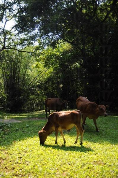 村外的草地成為牛群居所地。