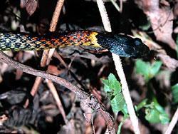 紅脖游蛇(漁農署圖片)