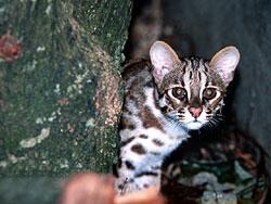 豹貓(漁農署圖片)