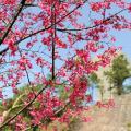 櫻花盛開!中大另一賞櫻地點