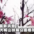 2016賞櫻最新消息!大帽山扶輪公園櫻花開