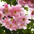 開得正美!鰂魚涌最新櫻花花況