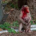 馬騮疑遭車撞傷仍拼死保護幼猴 引網民關注動物權益 憂報警會導致人道毀滅