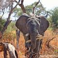丹麥政府花1265萬港幣購買馬戲團大象 保障其權益助動物安享晚年