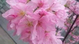 沙田、黃大仙都有櫻花!兩大賞櫻新景點曝光