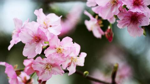 留住最美一刻!拍好櫻花的5大步驟