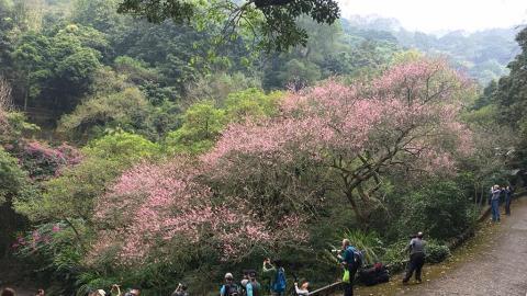 本地農場公佈 鐘花櫻桃+梅花開花指數達90%