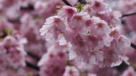 昂坪種400棵櫻花樹!明年初有望成全港最大賞櫻景點