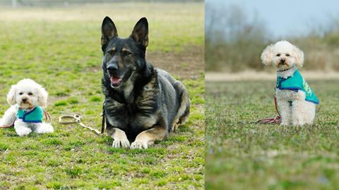 被遺棄貴婦狗險遭人道毀滅 被好心人領養終蛻變成警犬