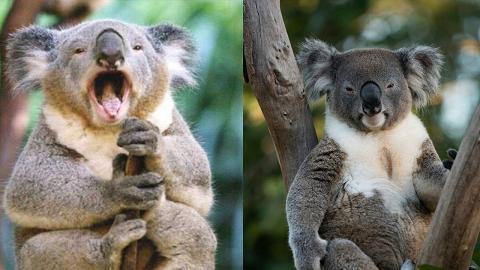 澳洲野生樹熊面臨絕種危機 全球數量不足8萬隻
