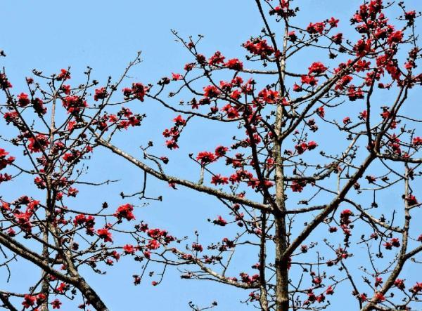 木棉樹的美麗警告