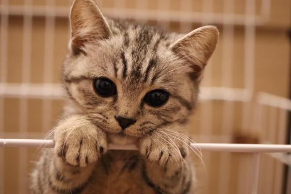 可愛背後難以根治的病痛 《診所低能奇觀》作者寶豬的「曼島貓」