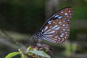 在濕地公園,隨處可見到蝴蝶的芳蹤。( 孫靜雯攝 )