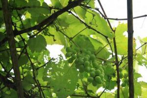 本地青葡萄高高掛在竹棚上,可惜尚未成熟、無緣採集。
