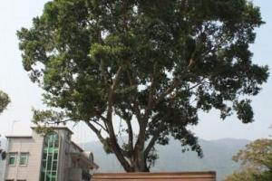 這棵就是小的許願樹,主管姻緣、求子等,下方設有十二生肖許願架。