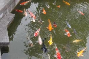 池中飼養了大群錦鋰,生氣勃勃。