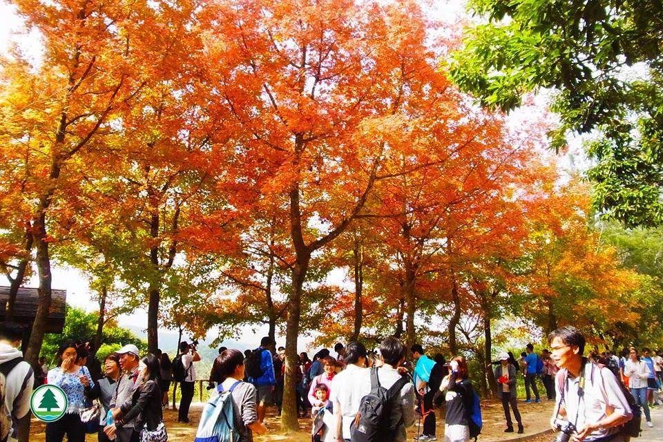 大棠首個紅葉節 楓香林現已轉黃