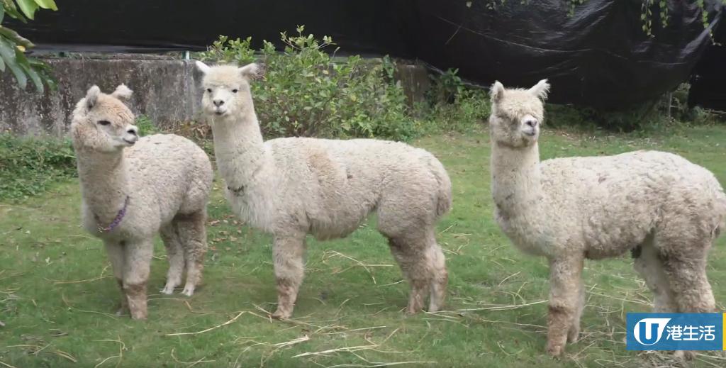 【錦田好去處】澳洲羊駝首度登陸香港農莊!近距離接觸餵飼得意羊駝