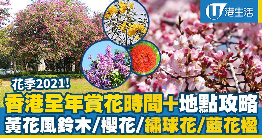 【花季2021】香港全年賞花時間+地點攻略懶人包!黃花風鈴木/櫻花/繡球花/藍花楹