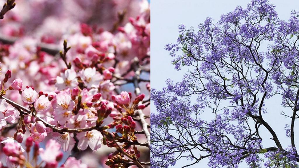【花季2020】香港全年賞花時間地點一覽!櫻花/美人樹/藍花楹/繡球花