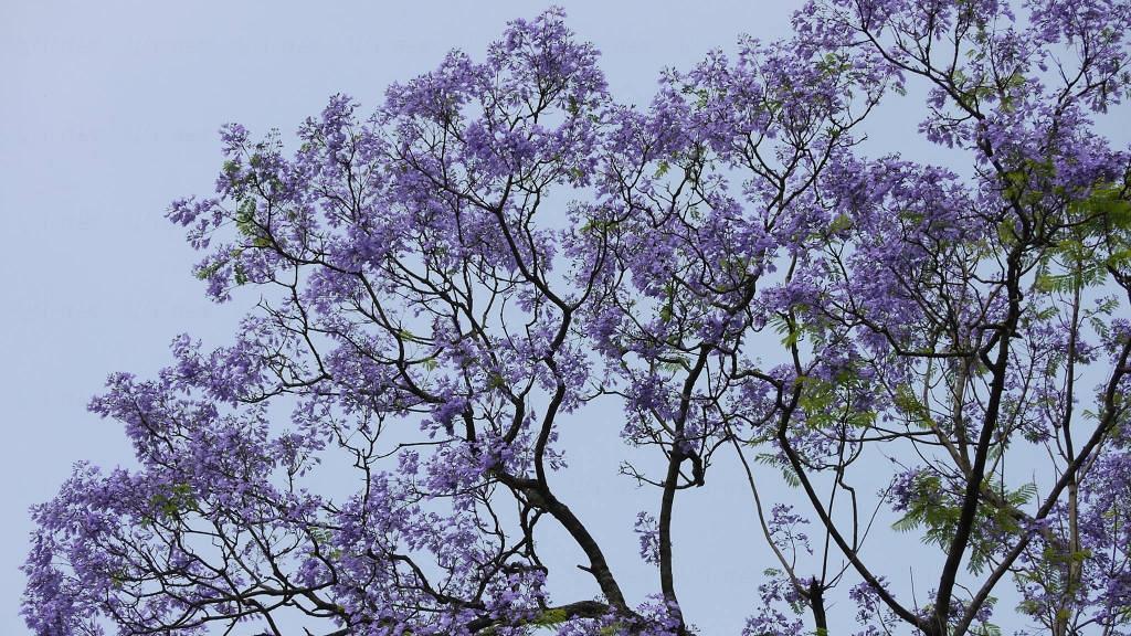 香港藍花楹開花!呈美麗浪漫淡紫色+賞花時間地點一覽