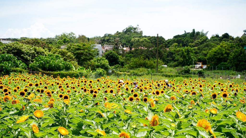 【元朗好去處】元朗向日葵花海綻放!零距離接觸近萬朵太陽花