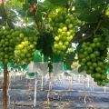 【元朗好去處】20萬呎元朗果園開放!任摘港產香印提子