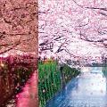 【葵芳好去處】葵芳櫻花大道5大浪漫粉紅影相位 櫻花牆/夜櫻光影/粉紅車廂登場