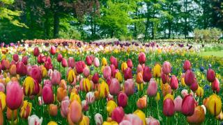 【大嶼山好去處】香港首個歐洲風格鮮花主題公園!鬱金香花海任影