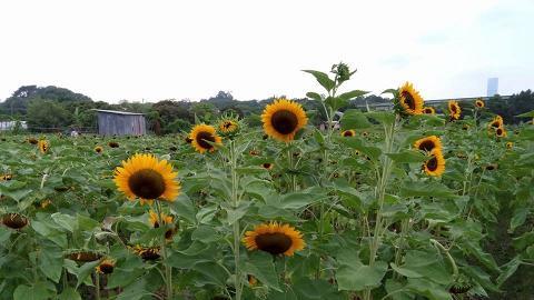 【元朗好去處】元朗農場免費開放賞花任影!向日葵花海盛開