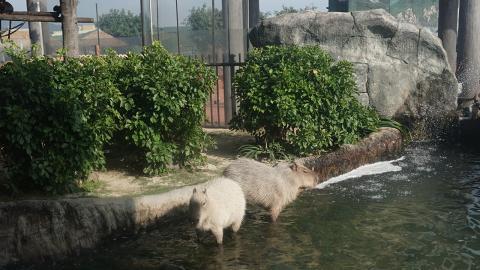 【海洋公園】海洋公園免費親親水豚活動 近距離睇3隻肥嘟嘟水豚發呆/5大影相位