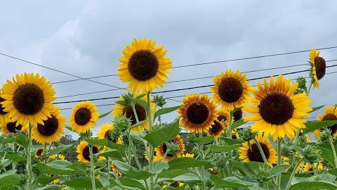 【元朗好去處】元朗本地農場信芯園5月底舉辦太陽花節!向日葵花海盛開