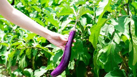 【元朗好去處】元朗本地農場免費入場!落田摘鮮甜茄子 大人細路都啱玩