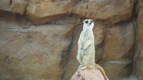 【海洋公園】海洋公園全新非洲動物展館開幕 近距離睇「丁滿」狐獴/大象龜
