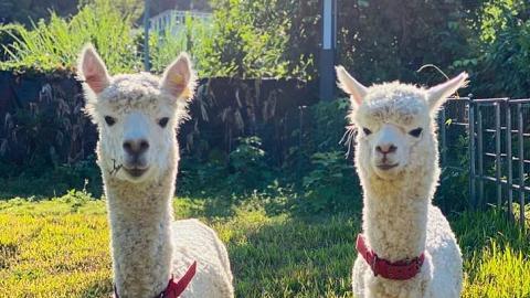 【大埔/錦田好去處】2大香港農莊「親親小羊駝」優惠!近距離餵飼草泥馬/天空之鏡羊駝影相位