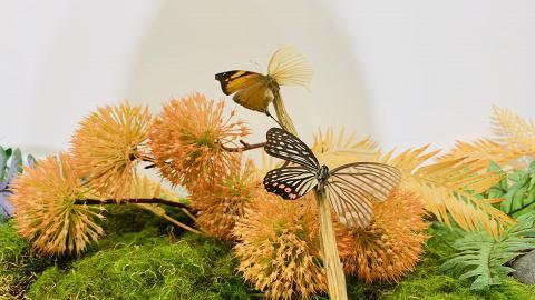 【銅鑼灣好去處】銅鑼灣蝴蝶專題展覽免費開放!觀賞過百隻世界各地蝴蝶品種/標本製作工作坊