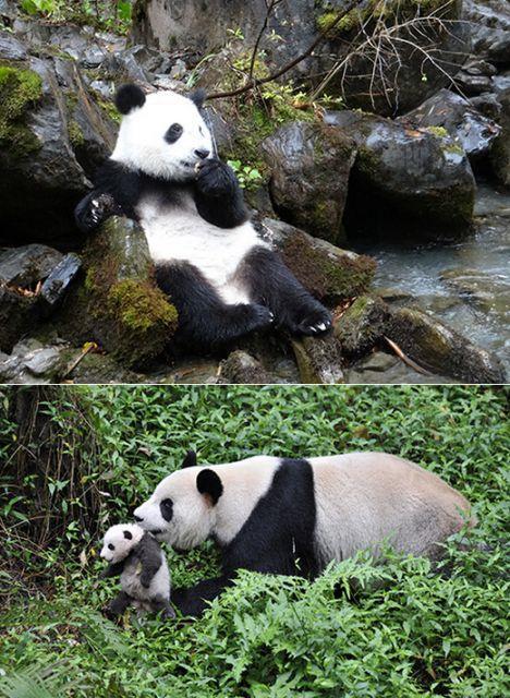 《熊貓愛回家》