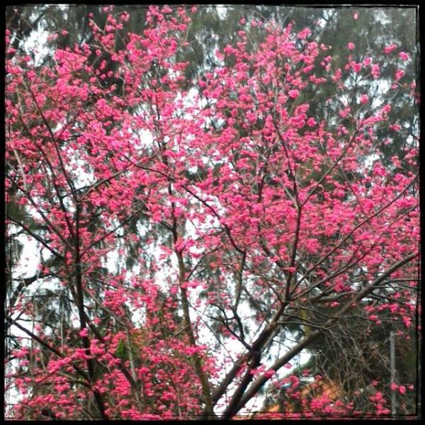開花了!長洲關公亭櫻花情報