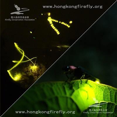 螢火蟲美態