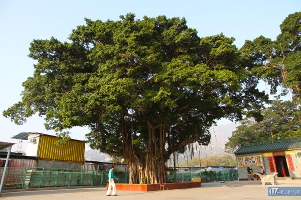 老榕樹與天后古廟