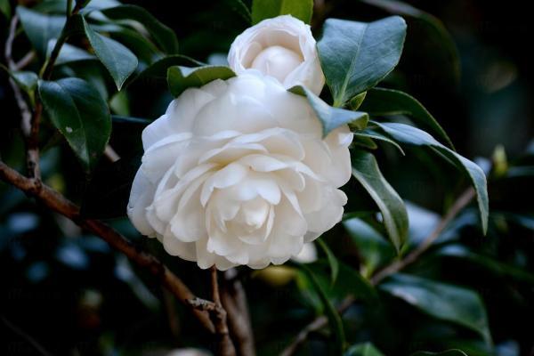 未圓湖内 茶花園(圖:http://notsomoon.blogspot.hk/)
